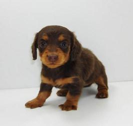 ペットショップで仔犬を買う前に知っておきたいこと