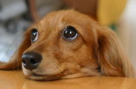 犬の視力はどれくらい?目はいいの、わるいの??