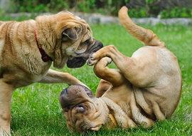 愛犬が寂しそうだからもう犬を一頭飼った方がいい??