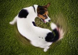 犬が自分の尻尾を追いかけるのはどうして??